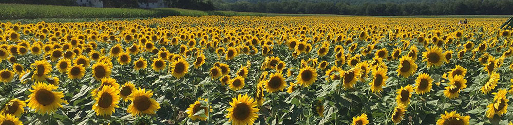 image of sunflowers in frankford township