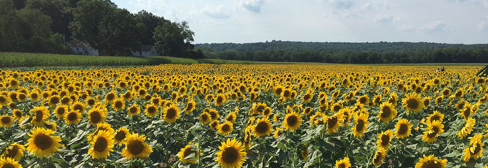 Frankford Township Sunflowers